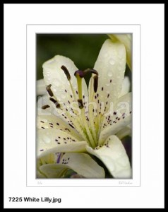 7225 White Lilly